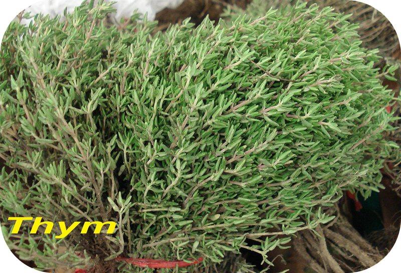 Plantation du thym - Rustica
